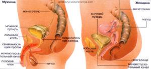 Строение мочеполовых органов