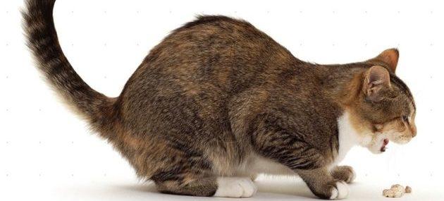 Астма у кошки