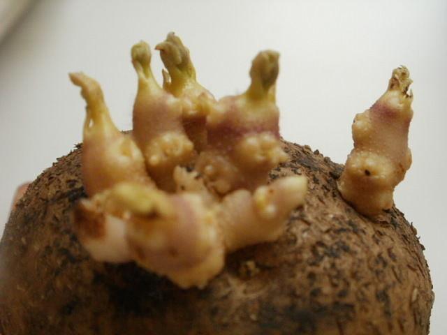 картофельные ростки на водке