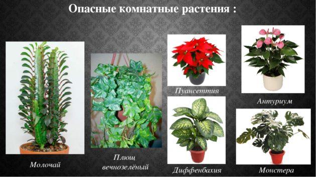 Комнатные растения аллергены