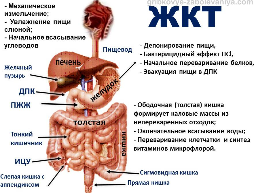 Строение желудочно-кишечного тракта (ЖКТ) ребенка