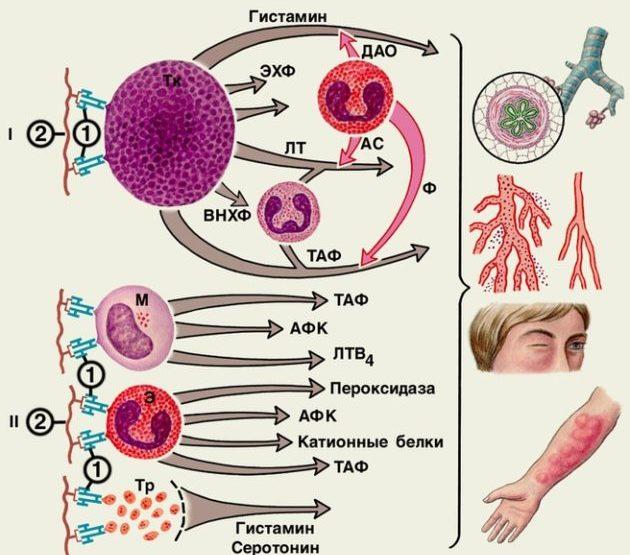 Механизм проявления аллергической реакции