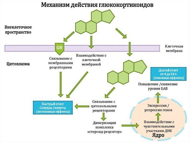 Адвантан - фармакологическое действие глюкокортикостероидов